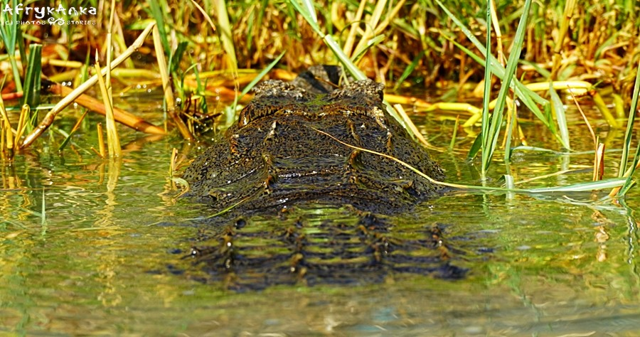 Krokodyl odpoczywa - nie przeszkadzać!