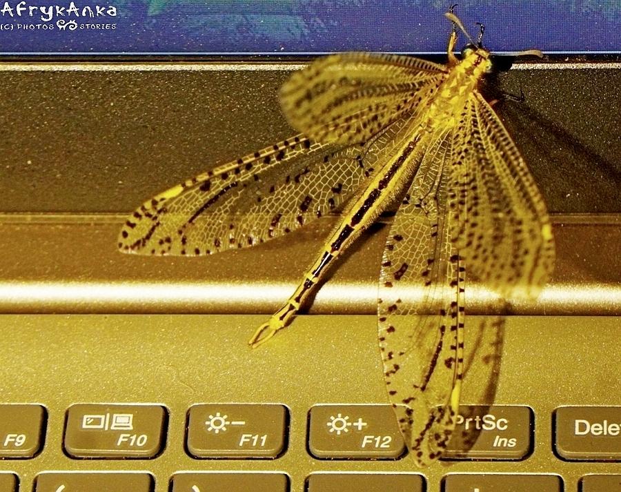 Mrówkolew - postać dorosła - zwabiony światłem komputera (Botswana).