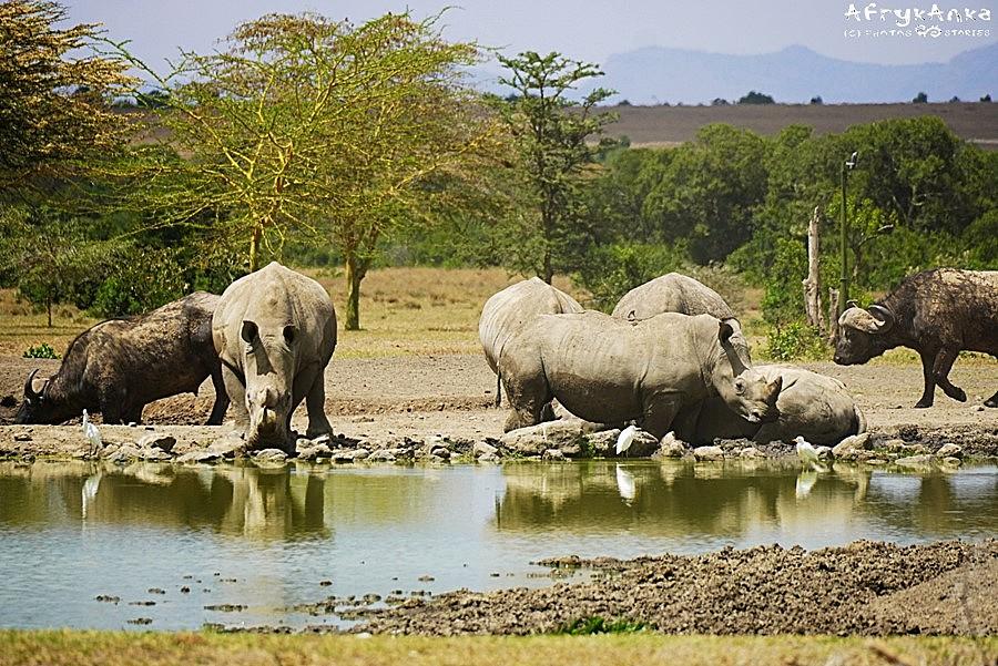 Nosorożce prowadzą czasem intensywne życie towarzyskie!