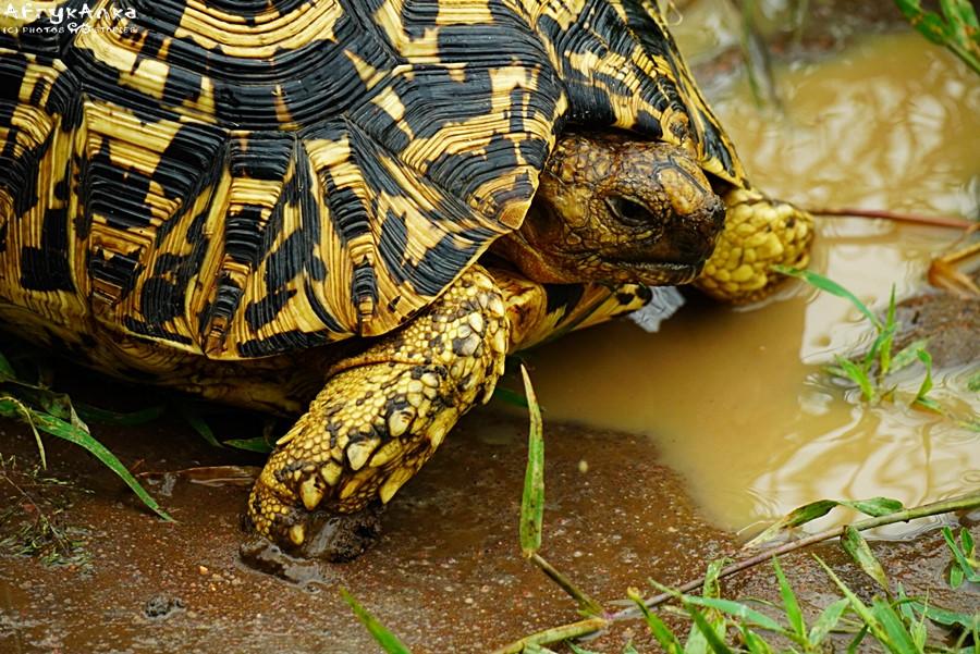 Żółw lamparci - Tanzania.
