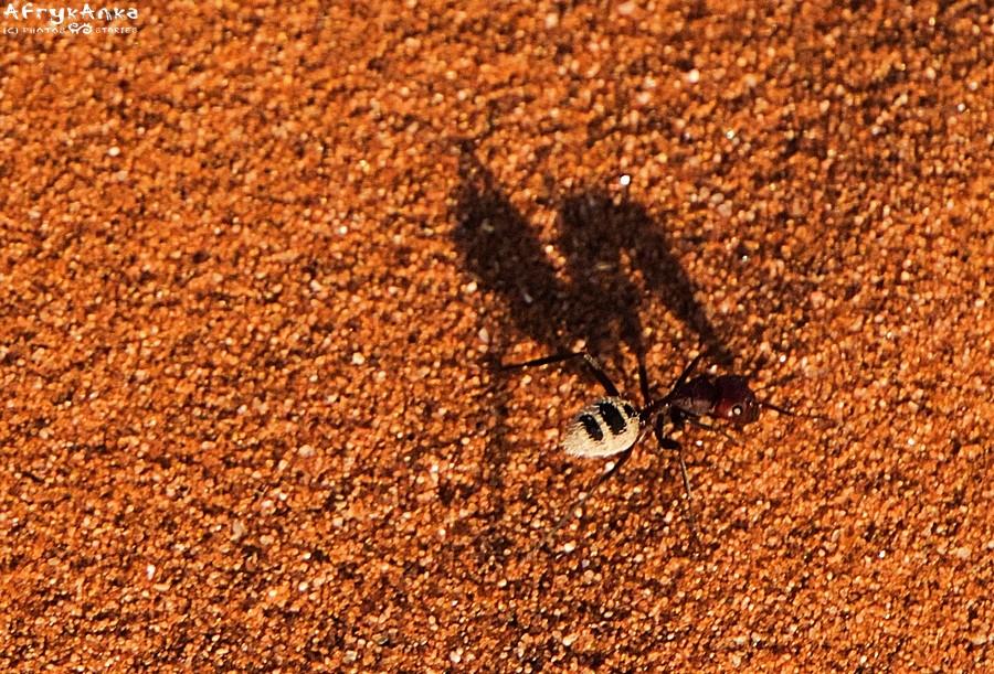 Mrówka na wydmie pustyni Namib.