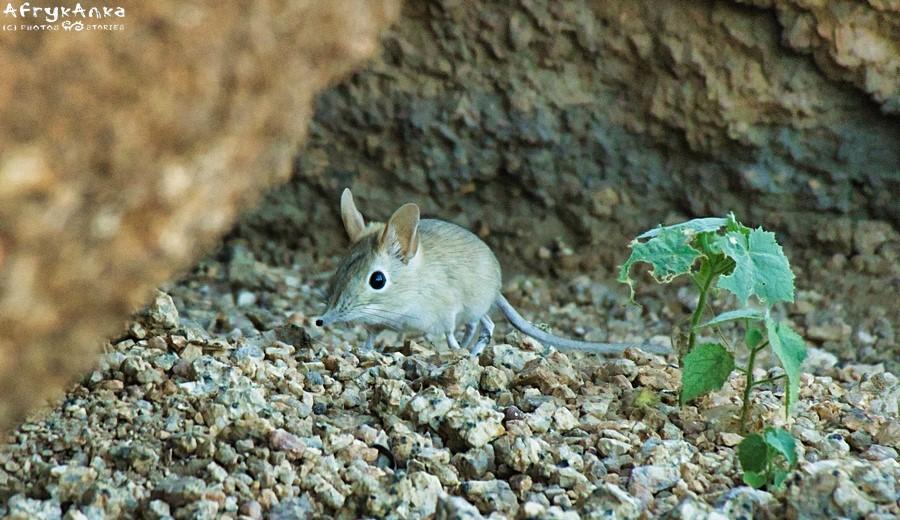 Ryjkonos w Namibii (Spitzkoppe).