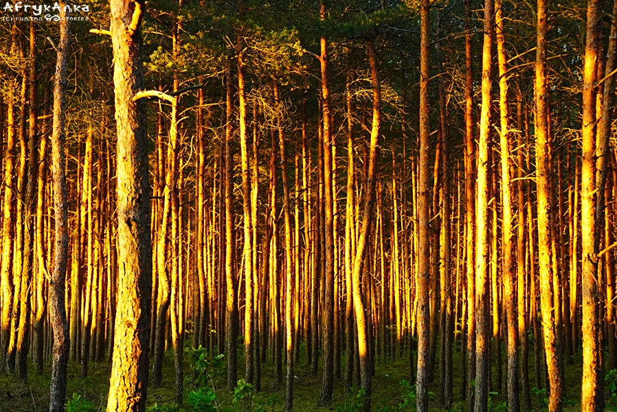 Sosnowy las w popołudniowym słońcu wygląda przepięknie.