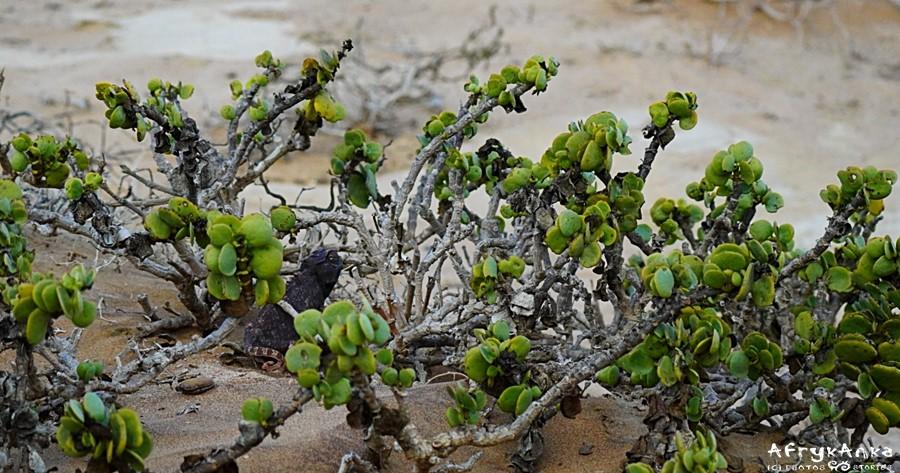 Kameleon w krzaku dollar bush jest dobrze zamaskowany.